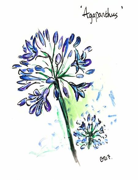 Alice's Agapanthus
